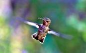 us_colibri