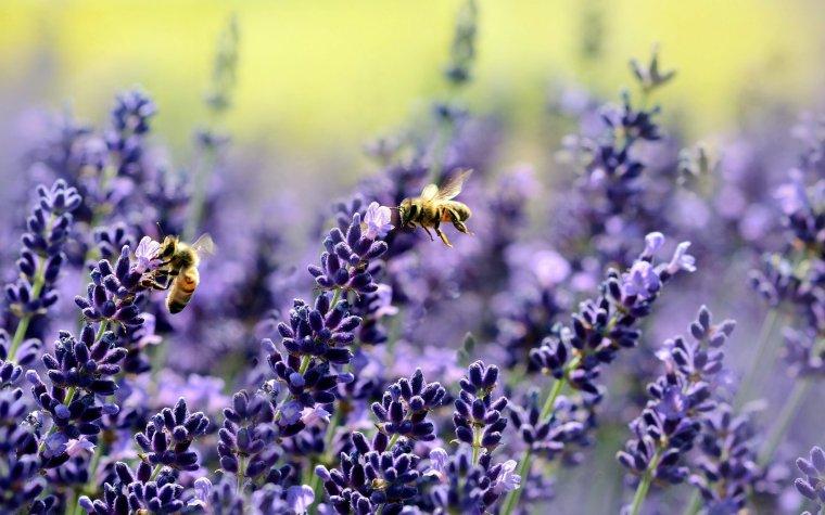 lavender-1537694.jpg