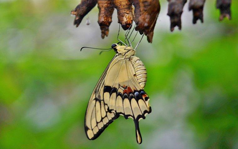 swallowtail-butterfly-329376.jpg