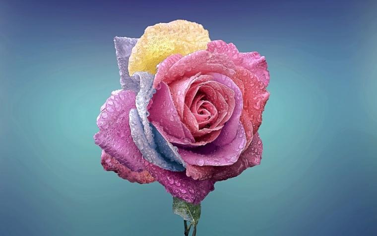 rose-729509_1920