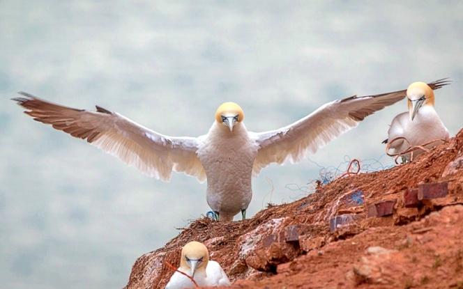 northern-gannet-3278420