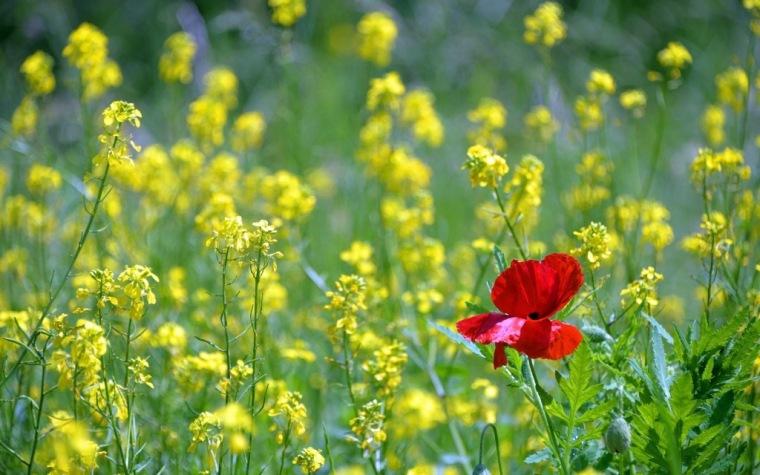 poppy-1819645_1920