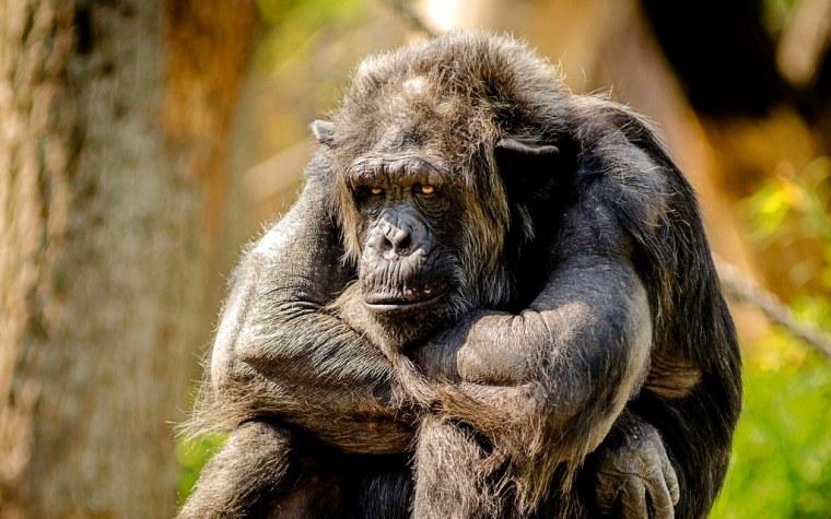 chimpanzee-978809_1920