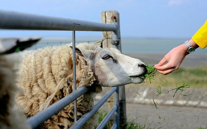 sheep-4772994_1920